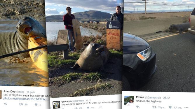Słoń morski sparaliżował ruch na autostradzie. Uparcie chciał przejść na drugą stronę