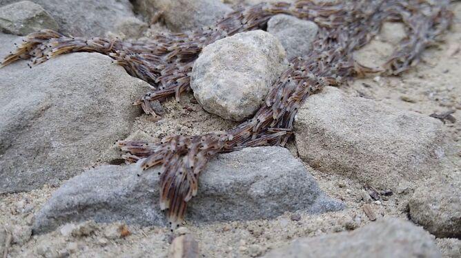 Tak pełza pleń. Rzadkie zjawisko nagrane w Tatrach