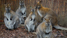 Walabie z wrocławskiego zoo
