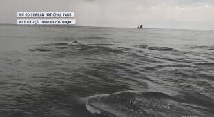 Wielka gromada delfinów butlonosych u wybrzeży Tajlandii
